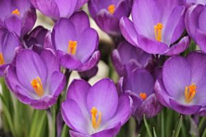 Purple crocus flowers in Spring.