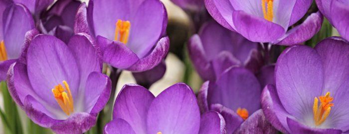Purple crocus flowers in Spring.